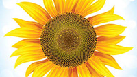 Sunflower 05 - vector