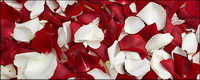 Red roses and white rose petals